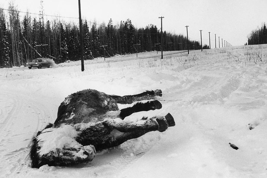 A frozen horse along the Alaskan highway, 1958